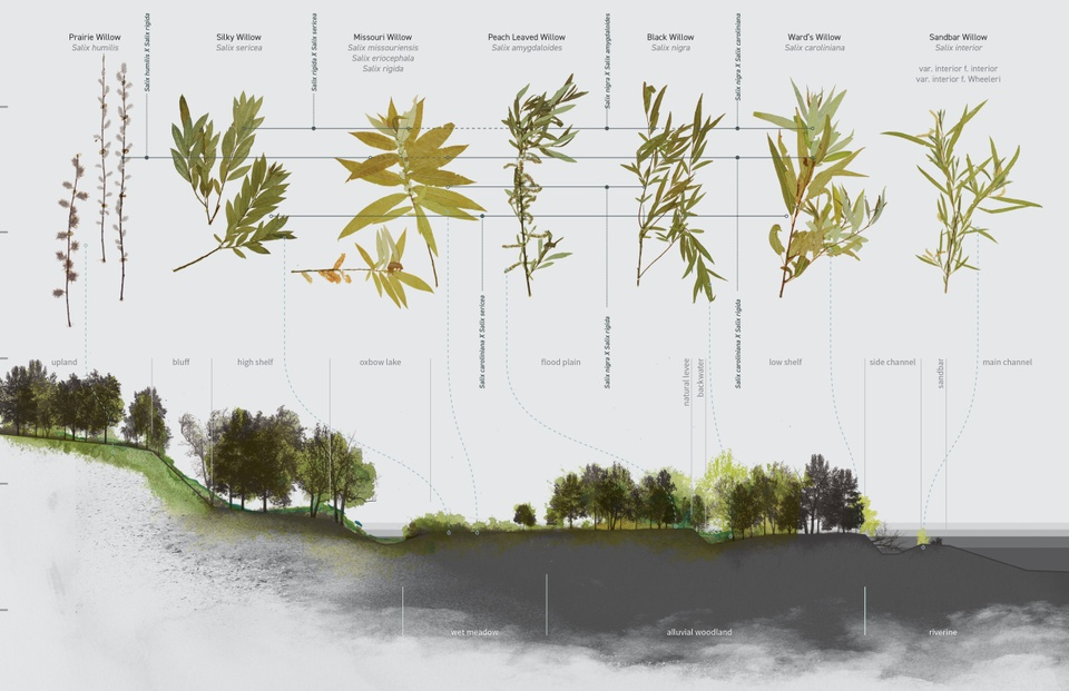 Drawing showing types of willow with close-up drawings of leaves, pointing to places where those trees grow on a landscape.