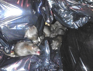 Trash Rats Postcard