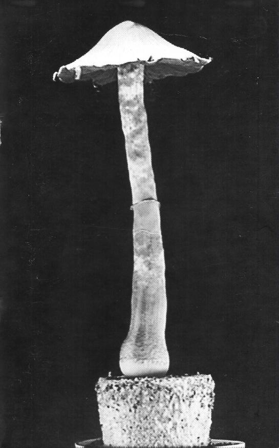 Psylocybe Fanaticus