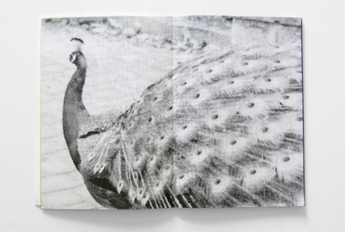 Peacocks thumbnail 2