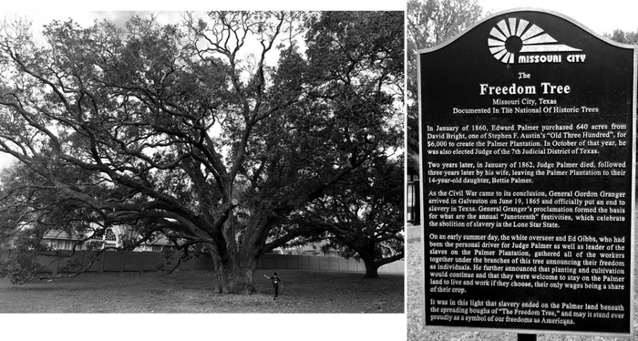 FIG. 1: Freedom Tree historical marker, December 28, 2018. The historical marker, located in front of the Freedom Tree in Missouri City, Texas, explains the significance of the tree to Fort Bend County history. While the marker celebrates the announcement of emancipation, it centers the benevolence of plantation owners. Photographs by the author.