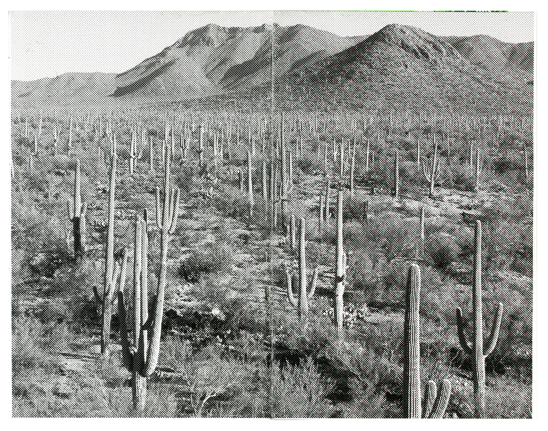 Saguaro thumbnail 2