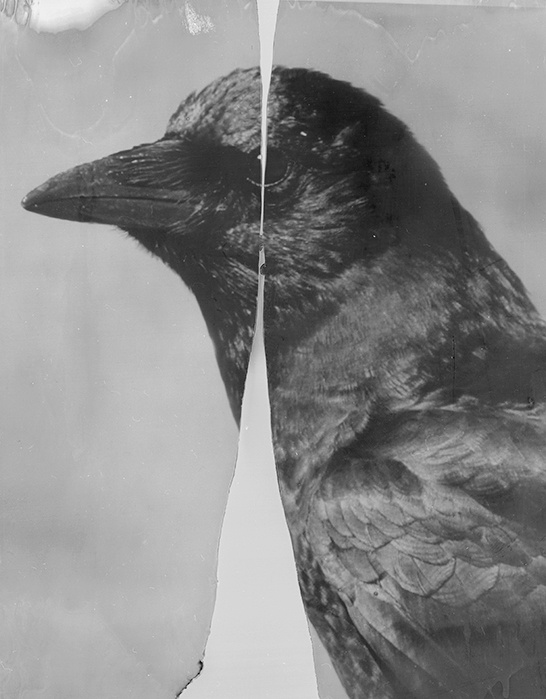 Cleaved Crow, 2015-2018