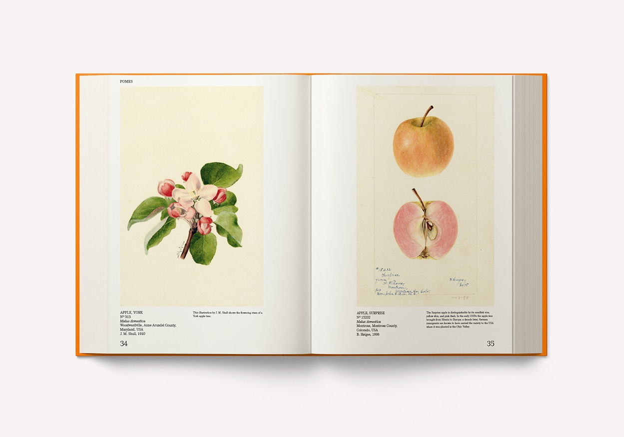 An Illustrated Catalog of American Fruits & Nuts: The U.S. Department of Agriculture Pomological Watercolor Collection thumbnail 4