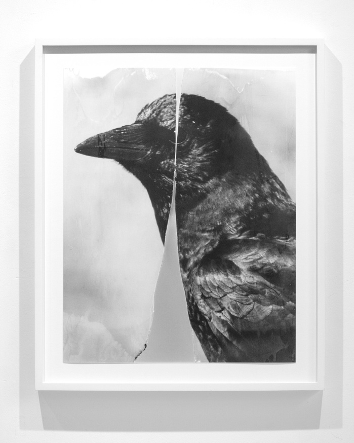 Cleaved Crow, 2015-2018, 2018